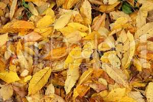 Yellow autumn leaves lie on the ground