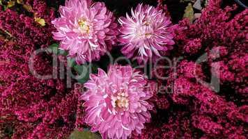 Violet purple aster flowers - aster, Michaelmas daisy
