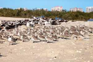 Cluster of black bellied plovers Pluvialis squatarola birds