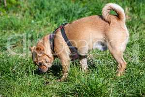 Hund schnüffelt im Gras