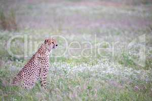 Cheetah in the grassland in the national park