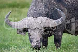 One big buffalo in the grassland of the savannah