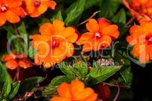 Orange flowers with drops of water on the flowers