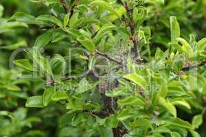 Nesting web of buterfly caterpillars hanging from the branches of a tree