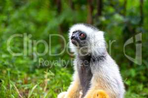 A Sifaka Lemur in the rainforest on the island of Madagascar