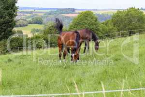 Horses graze in the summer on the meadow