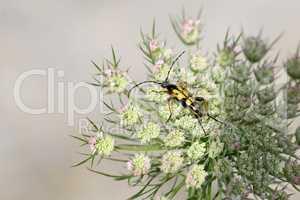 Leptura maculata gathering pollen on a white flower