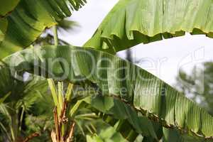 Tropical banana palm leaf, large foliage in rainforest for background