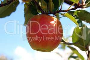 Apfelernte