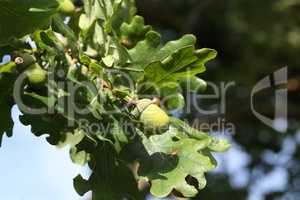 Oak branch with green leaves and acorns