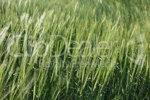 Wind im Getreidefeld